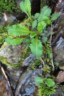 Branch lettuce