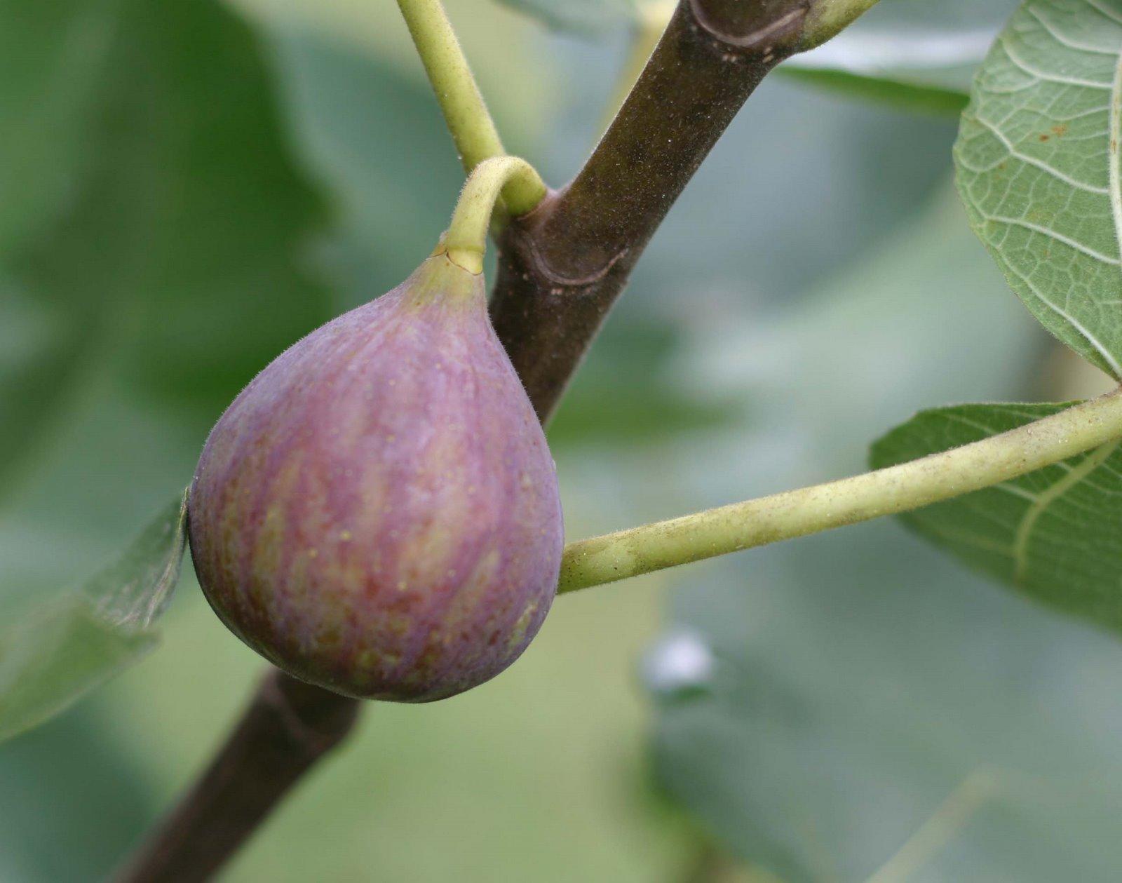 fig ripening trick